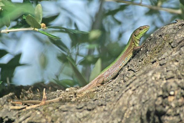 Podarcis Lizard by TonyDy