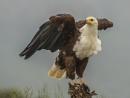 Fish Eagle by Jamie_MacArthur