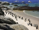 Penguins At Bouldars Beach, Western Cape. by Disee