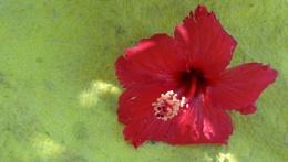 """"""" Hibiscus Flower """""""