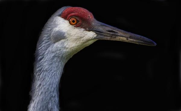 Florida Sandhill Crane by jbsaladino