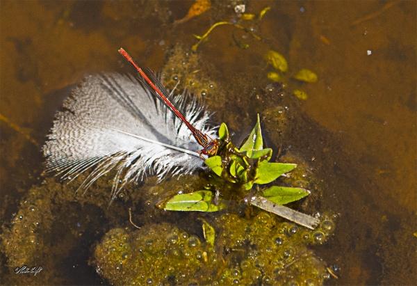 Dragonfly 2346 by paulknight