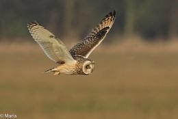 Short-eared `Owl