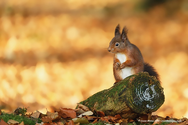 Red Squirrel & Leaves by Louise_Morris