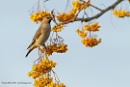 Waxwing by Louise_Morris