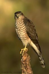 Juv Sparrowhawk - wild