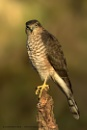Juv Sparrowhawk - wild by Louise_Morris