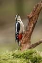 Great Spotted Woodpecker (F) by Louise_Morris