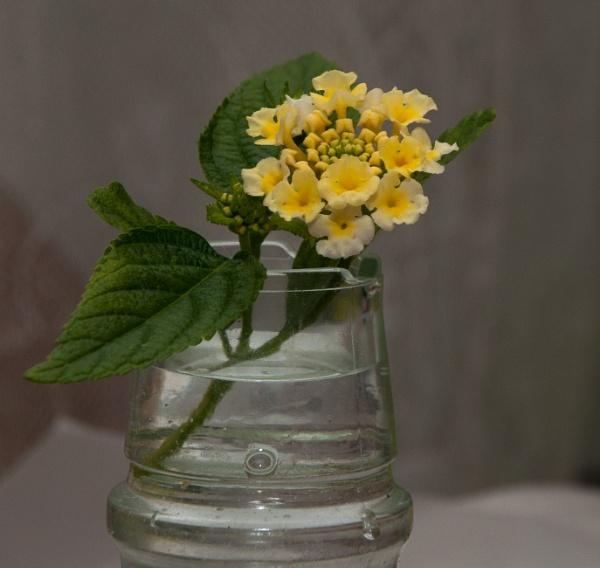 Jam jar lantana by HarrietH