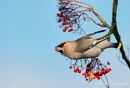 Waxwing with Rowan Berry by pdsdigital