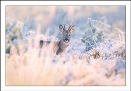 Roebuck on a frosty morning.