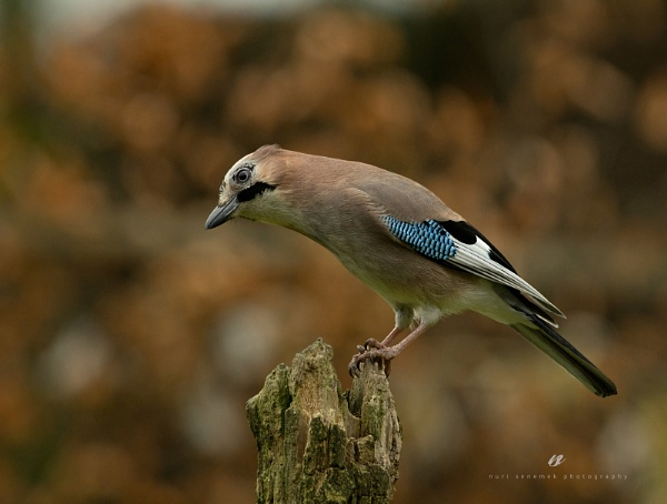 jay by an autumn day by senn