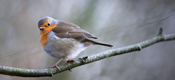 Robin 2 by gowebgo