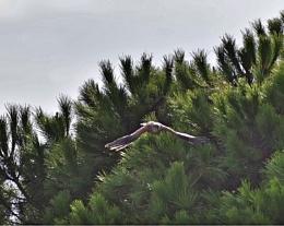 Algarve Falcon