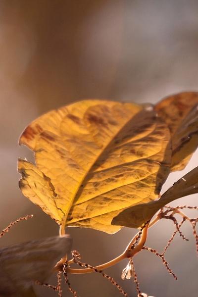 A Golden Leaf by manicam