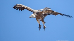 Swooping Griffon Vulture