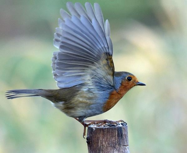 Flighty Robin by Holmewood