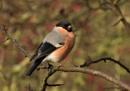 Male Bullfinch by ade123