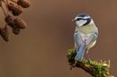 Wodland Bird: Blue Tit by RobertTurley
