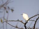 Little Egret by DerekHollis