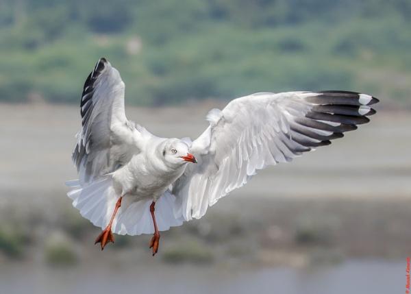 Sea Gull in flight by kanwarmunish