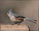 The Tufted Titmouse by taggart