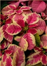 Acres of Poinsettias 2 by taggart