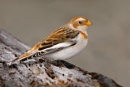Snow Bunting--Plectrophenax nivalis. by bobpaige1