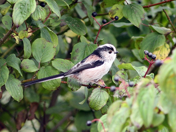 Long-tailed Tit--Aegithalos caudatus. by bobpaige1