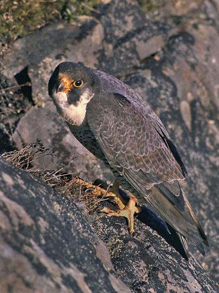 Peregrine Falcon--Falco peregrinus. by bobpaige1