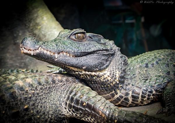 African Dwarf Crocodile by Wild_Pic