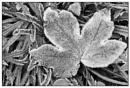 Frosted leaf by EddieAC