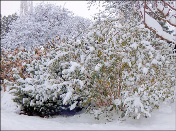 Snow clinging to the bushes by Phyllis007
