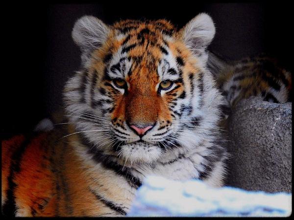 Tiger cub in it\'s lair by Alex4xd