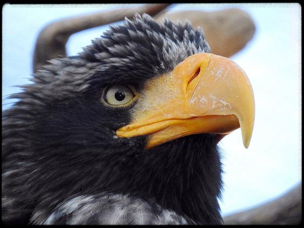 Where sea eagles dare by Alex4xd