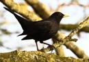 Blackbird by Philipwatson