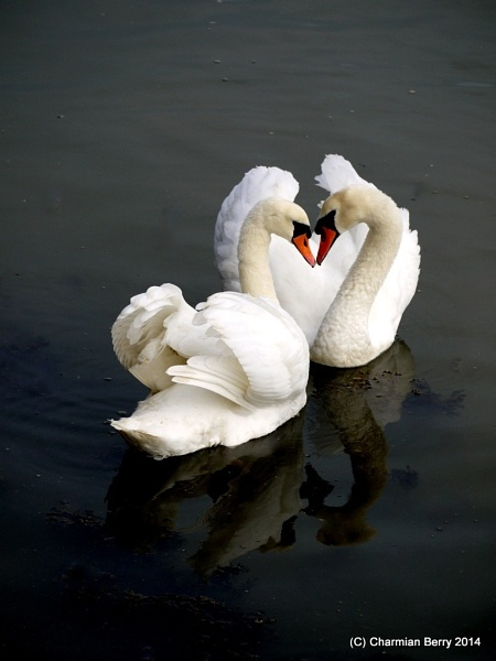 Loving Swans by Charmian