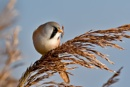 Male Bearded Tit (Panurus biarmicus) by DerekL