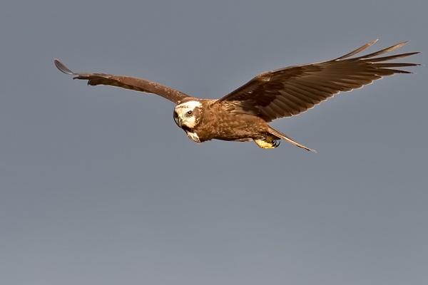 Female Marsh Harrier (Circus aeruginosus) by DerekL