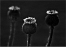 Poppy Seed Heads by MalcolmM