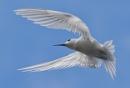 Fairy Tern by SteveBB