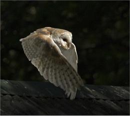 Barn Owl at dusk.
