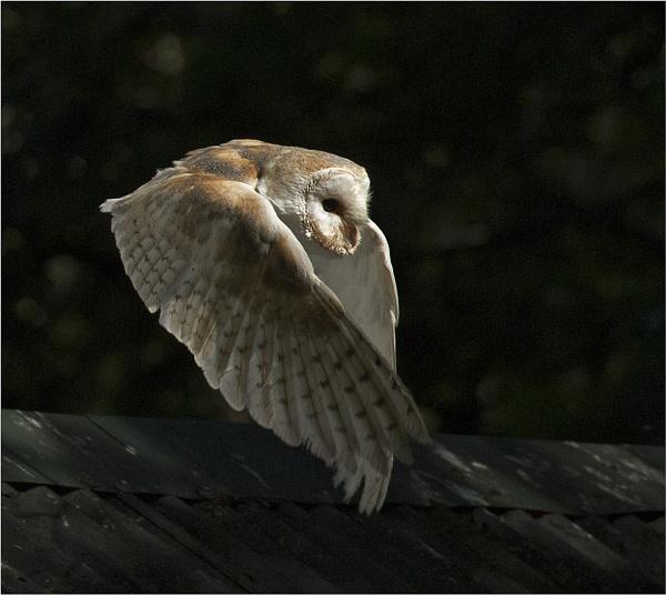 Barn Owl at dusk. by JeanE
