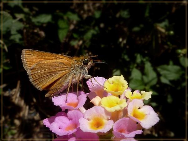skipper nectaring on lantana by CarolG