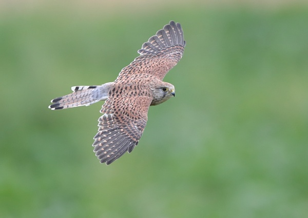 Male Kestrel in Flight by NeilSchofield