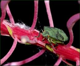 Green Shield Bug on Rosebay Willowherb.