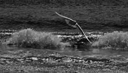 Black-headed gull and waves