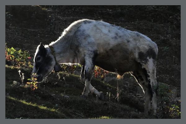 Holi Cow by prabhusinha