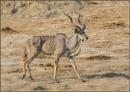 Male Kudu by ugly