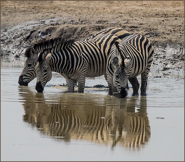 Zebra Drinking by ugly